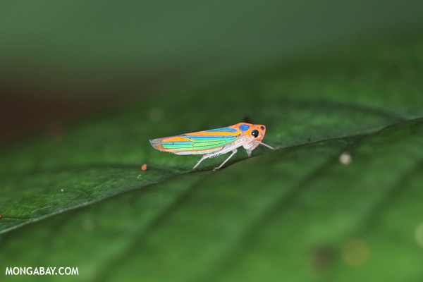 Orange planthopper