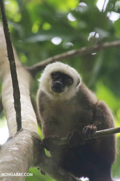 White Fronted Brown Lemur (Nosy Mangabe)