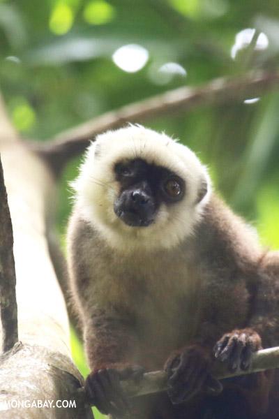 White-Fronted Brown Lemur (Nosy Mangabe)