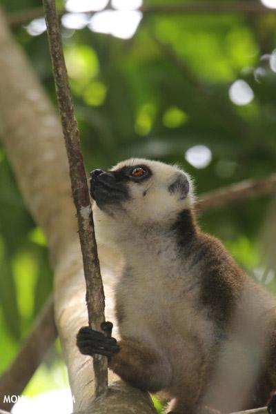White-fronted Lemur (Eulemur albifrons)
