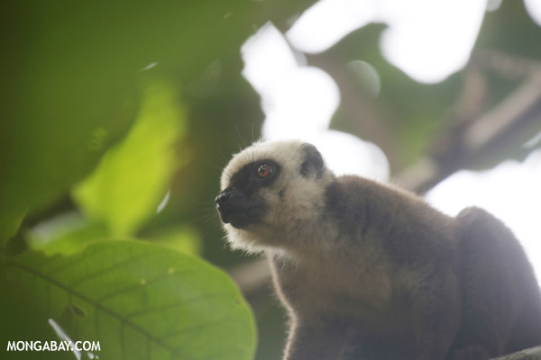 White-headed Brown Lemur