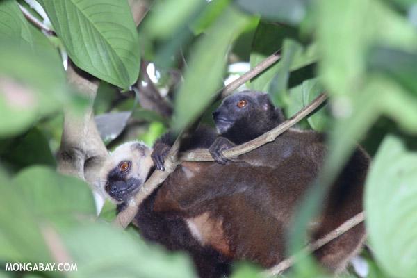 White-fronted Lemur