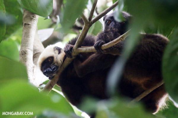 White-fronted Lemur on Nosy Mangabe