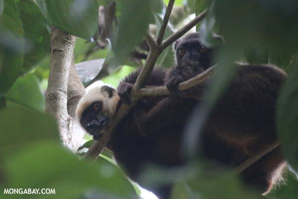White-headed Brown Lemur (Eulemur albifrons) on Nosy Mangabe
