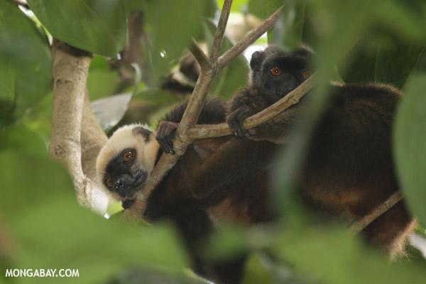 White-fronted Lemur (Eulemur albifrons) on Nosy Mangabe