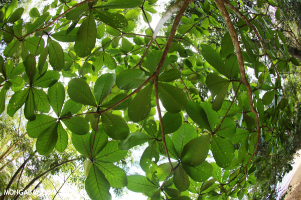 Leaves of a beach tree