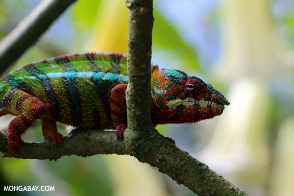 Pardalis chameleon