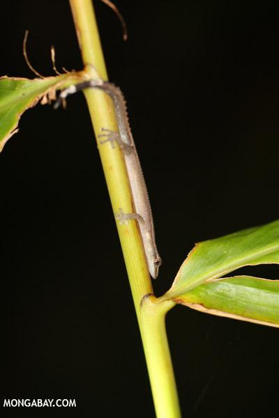 Ebenavia inunguis gecko