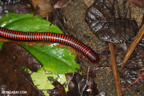 Red millipede