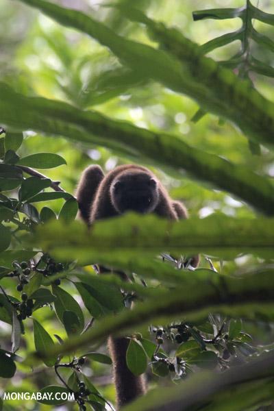 White-headed brown lemur (Eulemur albifrons)