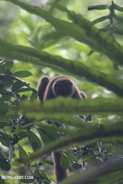 White-fronted brown lemur (Eulemur albifrons)