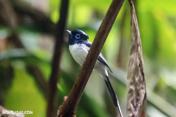 Male Madagascar paradise flycatcher