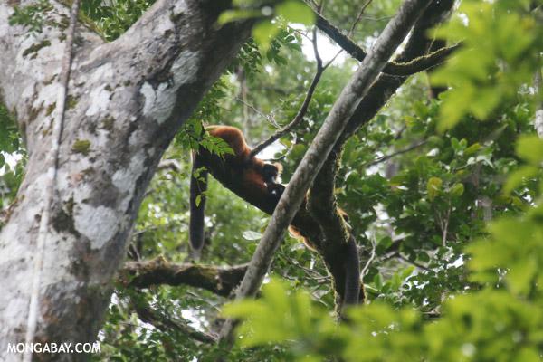 Red-ruffed lemurs