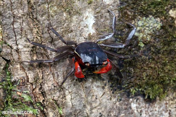 Jungle crab