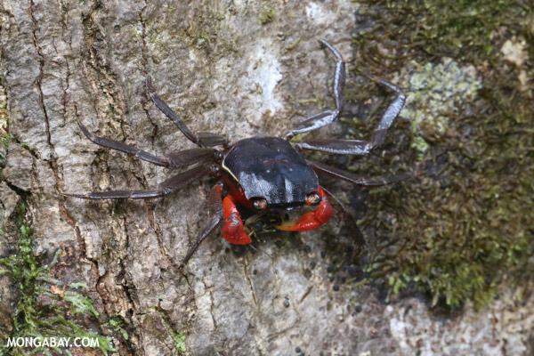 Rainforest crab