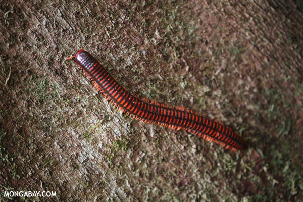Red millipede