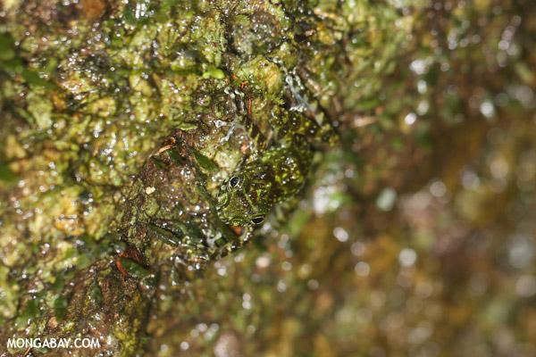 Gephyromantis webbi frog