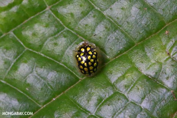 Black Tortoise beetle with yellow polkadots