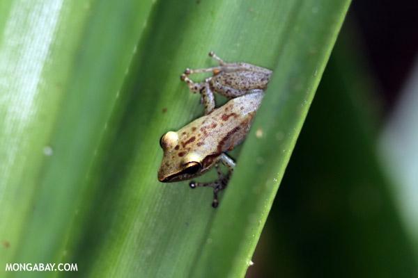 Guibemantis flavobrunneus