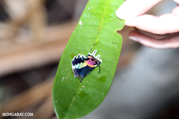 Colorful wing of the Madagascan sunset moth (Chrysiridia rhipheus)