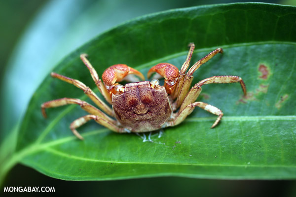 Forest crab in Madagascar