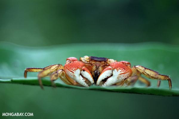 Forest crab in Madagascar
