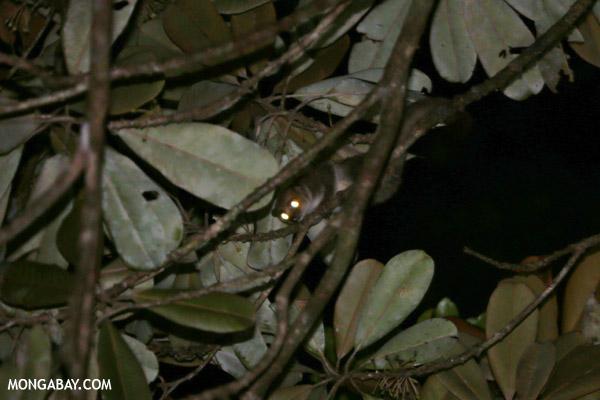 Greater dwarf lemur (Cheirogaleus major)