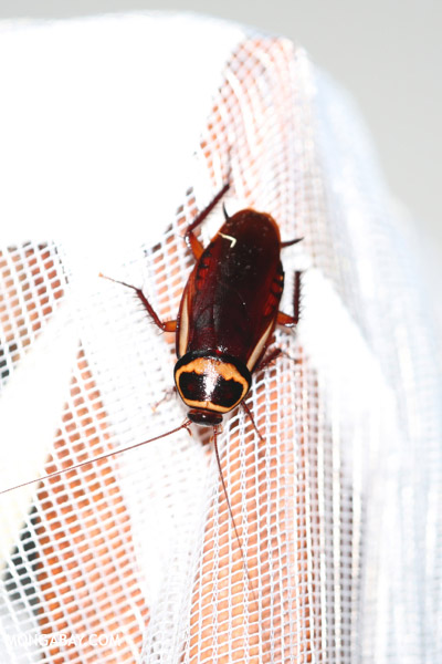 Giant cockroach in Madagascar