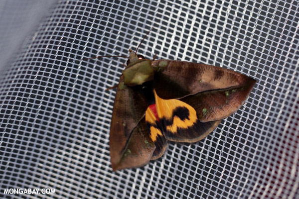 Madagascar moth with an orange marking on its back