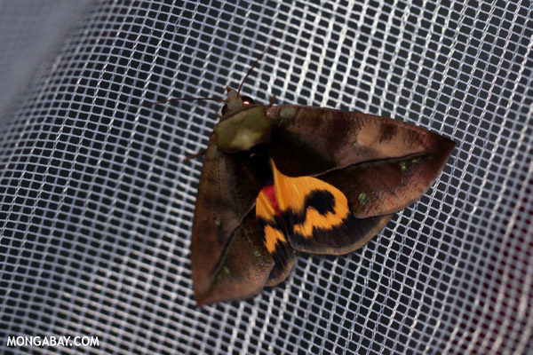 Madagascar moth with an orange mask-marking on its back