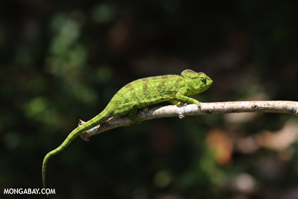Juvenile Furcifer pardalis chameleon