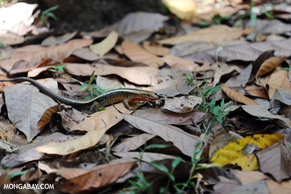 Zonosaurus laticaudatus lizard