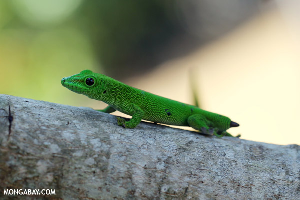Tailess day gecko