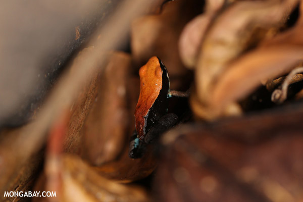 Mantella ebenaui frog