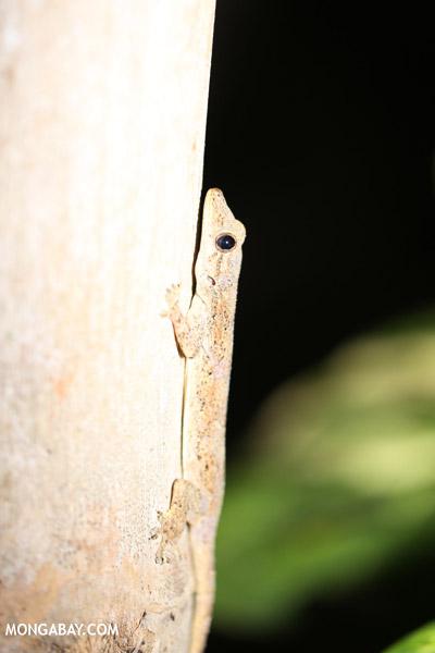 House gecko in Madagascar