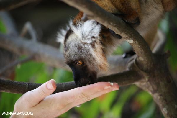 Tourist feeding a black lemur on Nosy Komba