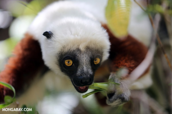 Coquerel's sifaka.  Photo by Rhett A. Butler / mongabay.com.
