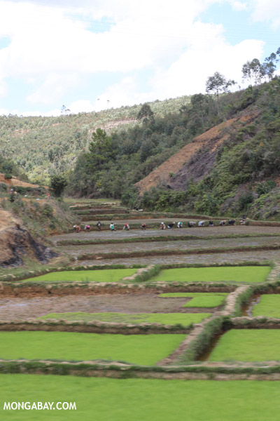 Rice fields in the highlands of Madagascar