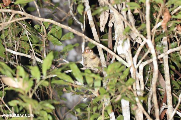 Goodman's mouse lemur (Microcebus lehilahytsara)