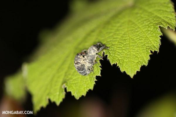 Mating beetles