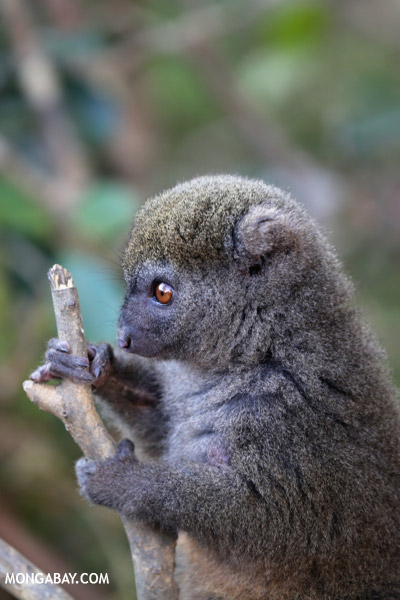The eastern lesser bamboo lemur (Hapalemur griseus) is listed as Vulnerable. Photo by: Rhett A. Butler.