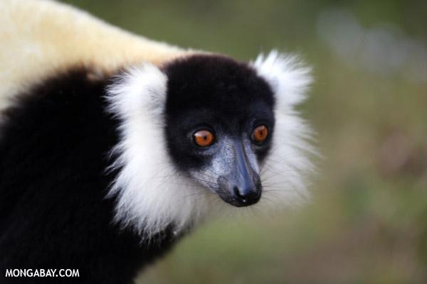 Black-and-white ruffed lemur (Varecia variegata)