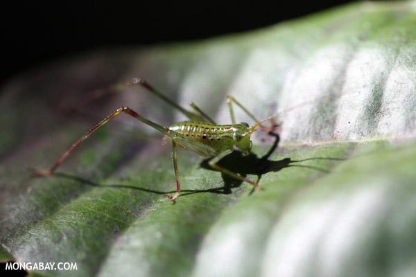 Green katydid