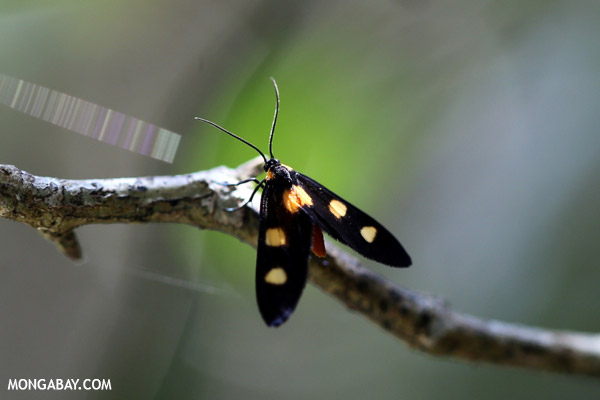 Spotted moth