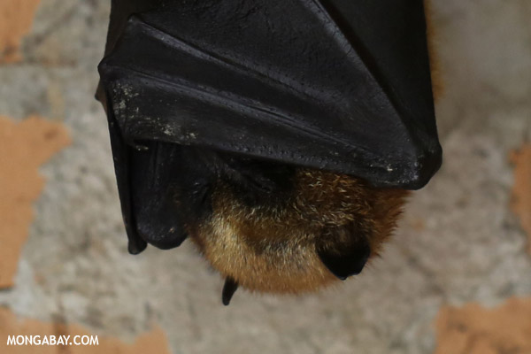 Fruit bat in Madagascar