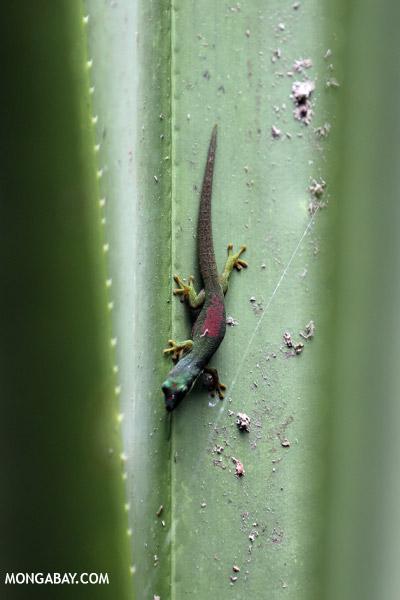 Lined Day Gecko (Phelsuma lineata chloroscelis)