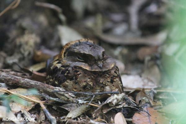 Madagascar Nightjar (Caprimulgus madagascariensis)