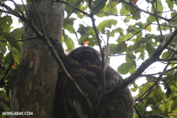 Eastern woolly lemur