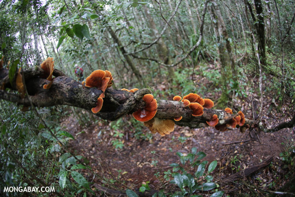 Orange Bracket fungus in Madagascar