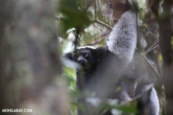 The Indri, the world's largest lemur